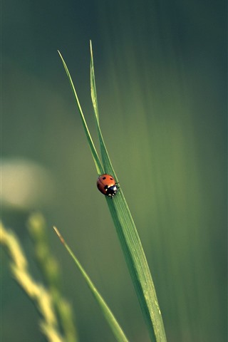 iPhone Wallpaper One ladybug, green grass leaf, insect