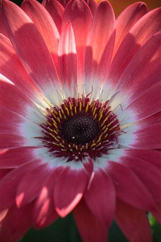iPhone Hintergrundbilder Rosa Gerbera Nahaufnahme, Blütenblätter, Pistil