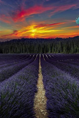 iPhone Fond d'écran Champ de fleurs de lavande violet, ballon à air chaud, arbres, coucher de soleil