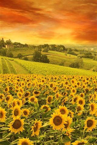 iPhone Hintergrundbilder Sonnenblumen, Feld, Bäume, Wolken, Natur