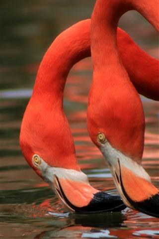 iPhone Wallpaper Two flamingos, neck, water