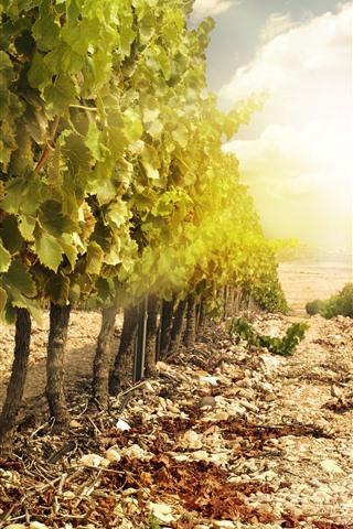 iPhone Wallpaper Vineyard, grapes, green leaves, sunshine