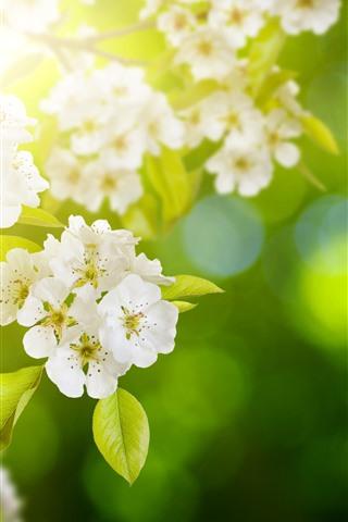 iPhone Обои Белые цветы яблока цветут, веточки, весна, солнечные лучи